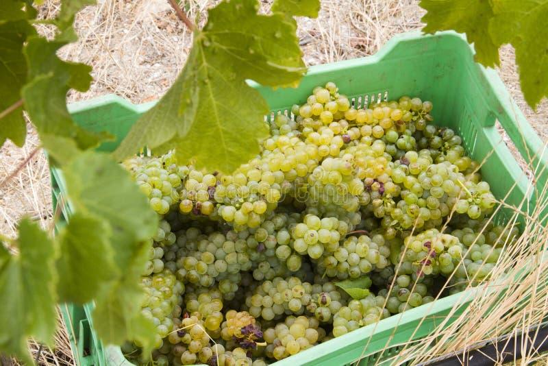 Raisins moissonnés dans une vigne photos stock