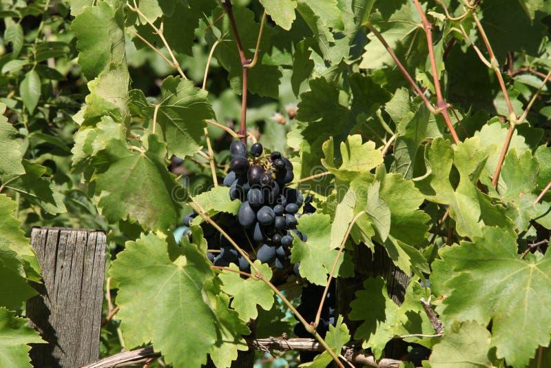 Raisins noirs mûrs images libres de droits