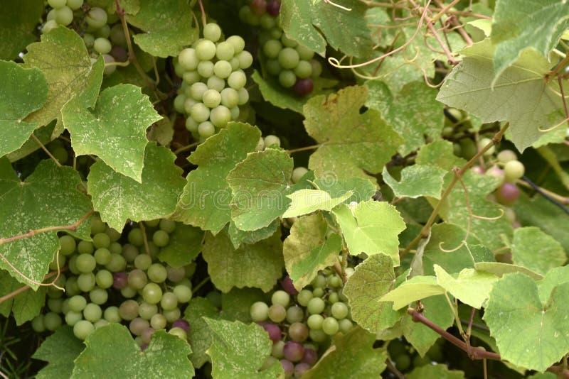 Raisins noirs parfumés dans le vignoble de la région de la Mer Noire photographie stock
