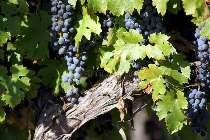 Raisins noirs sur la vigne photos stock