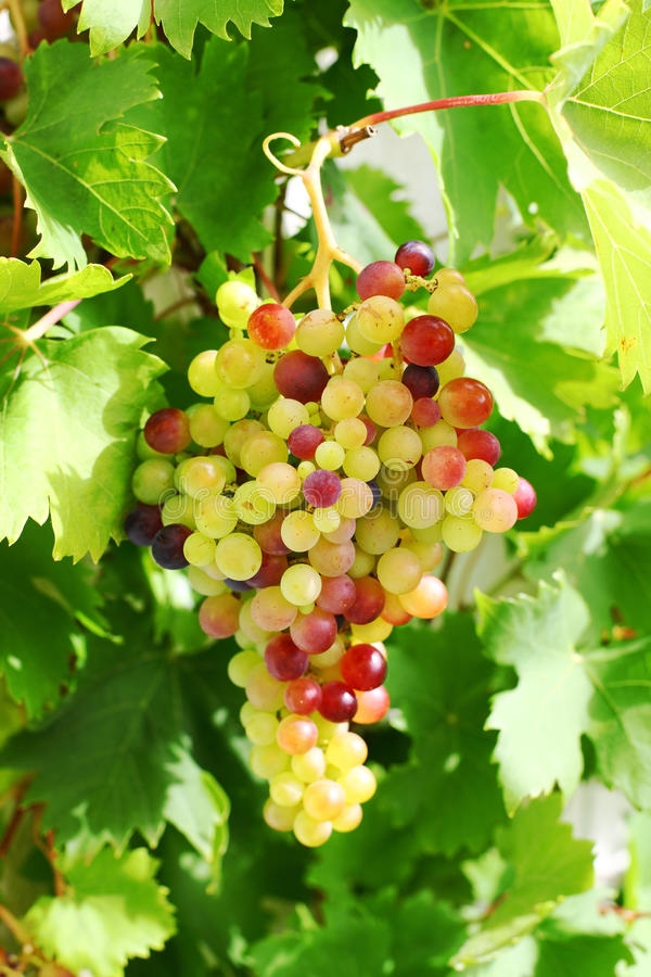 Raisins non mûrs dans le jardin images stock