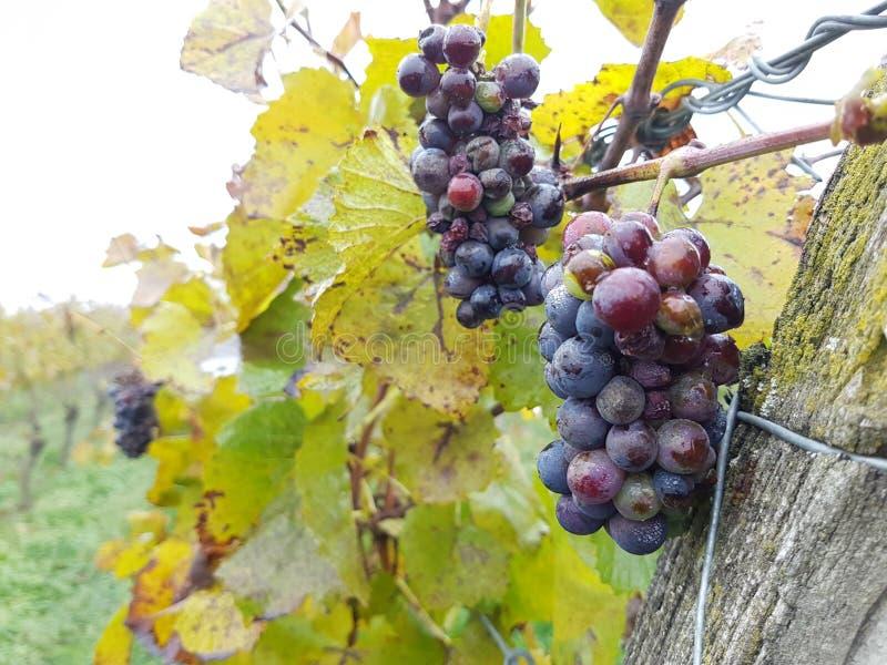 Raisins Pinot Noir de vin rouge photos stock