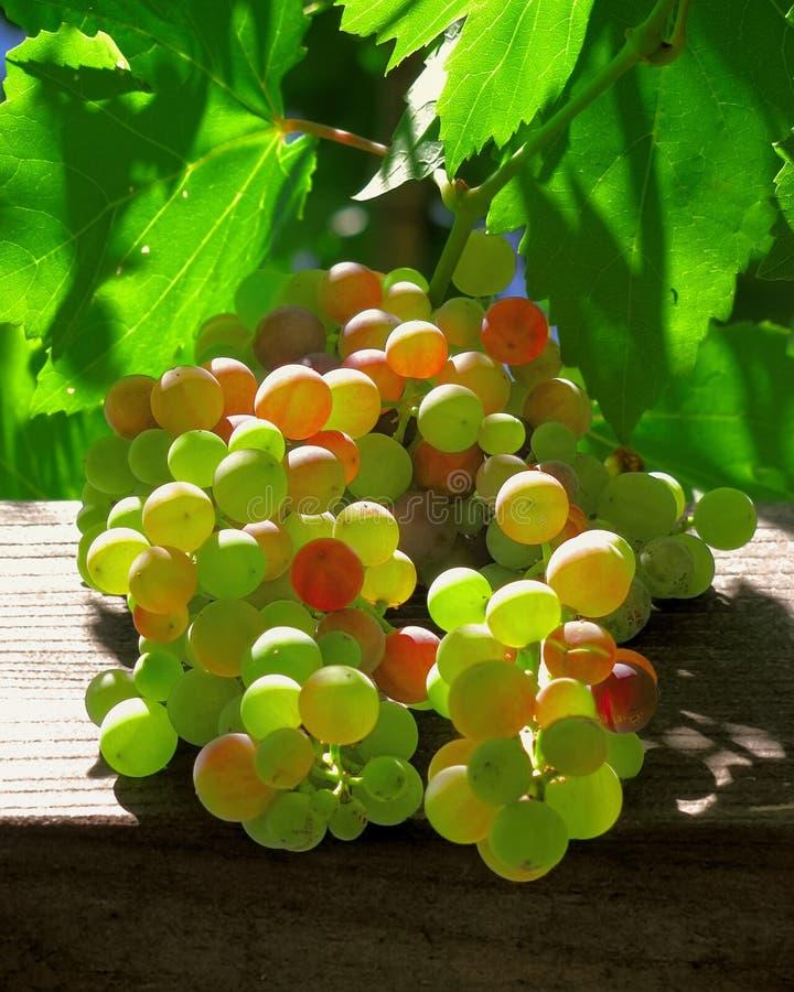 Raisins rougeoyant sur la vigne photo stock
