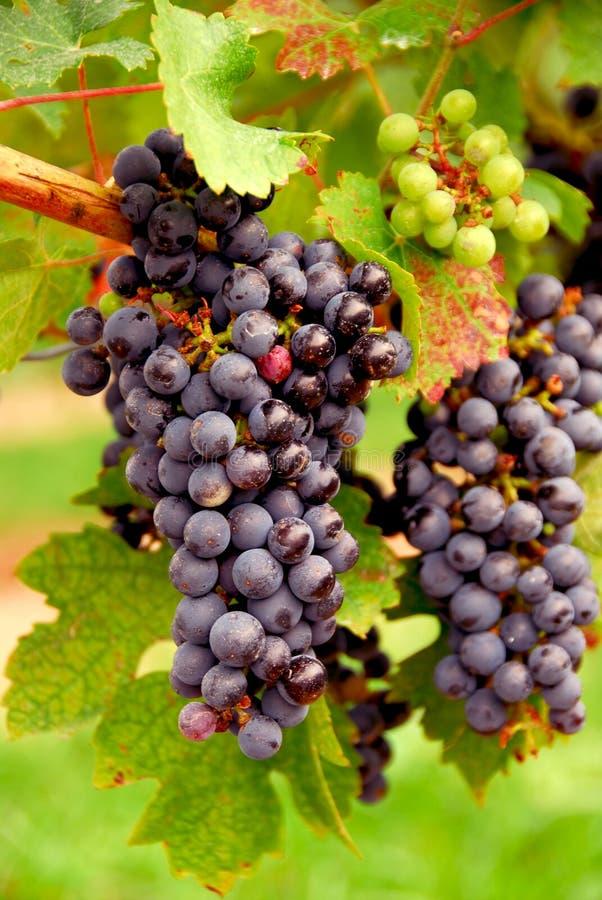 Raisins rouges photos libres de droits