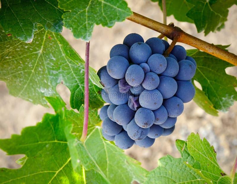 Raisins rouges mûrs de vigne à l'automne photographie stock libre de droits