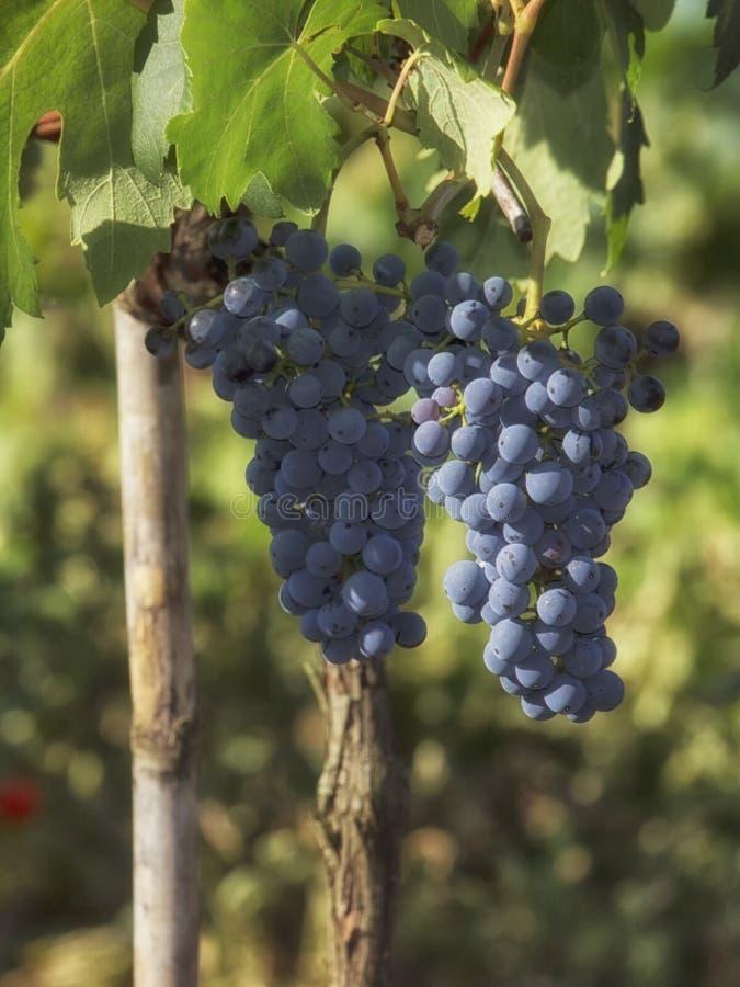 Raisins rouges pourprés avec les lames vertes sur la vigne image libre de droits