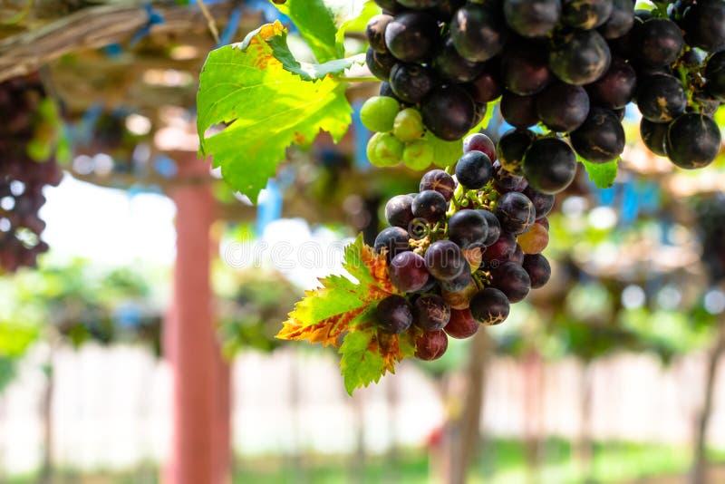Raisins rouges pourpres avec les feuilles vertes sur le vin photographie stock