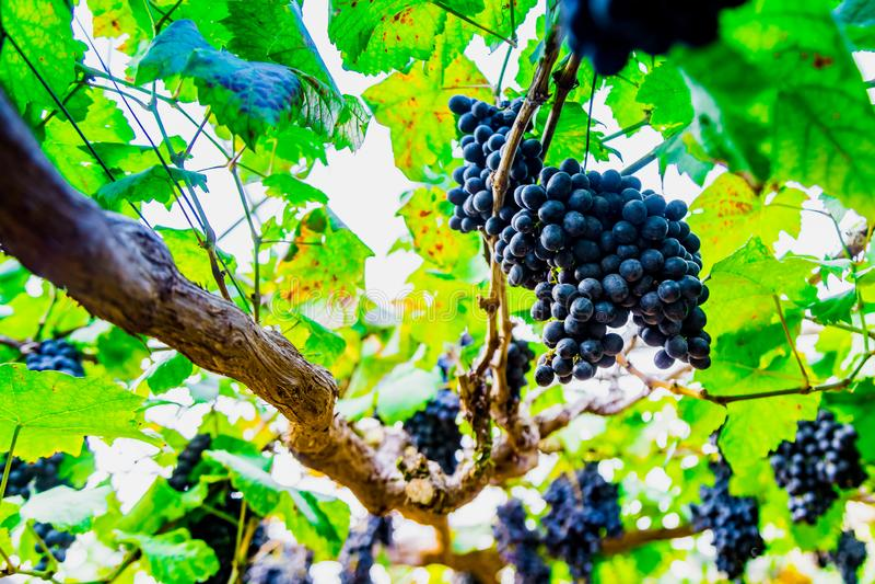 Raisins rouges pourpres frais avec les feuilles vertes à la ferme de vigne images stock