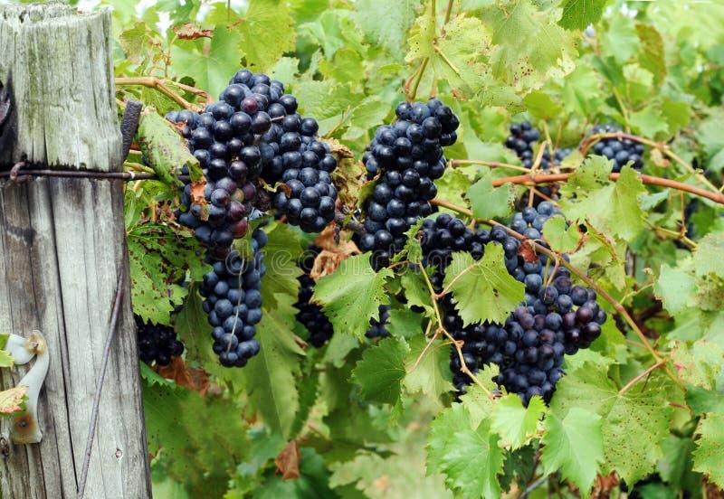 Raisins rouges sur la vigne photographie stock libre de droits