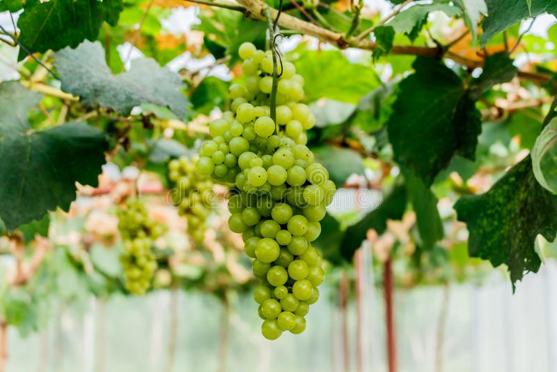 Raisins sains de vin rouge de fruits mûrissant dans le vignoble images libres de droits