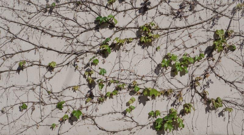 Raisins sauvages sur le mur Fond naturel avec la vigne photographie stock libre de droits