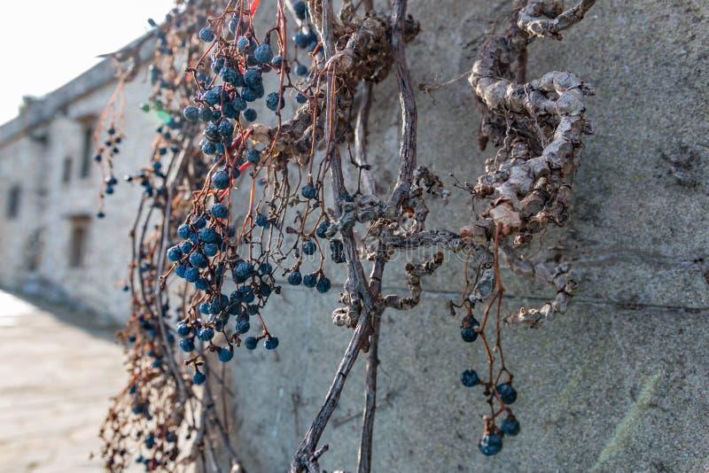 Raisins secs de vigne sur le mur antique de château Décoration d'établissement vinicole, baies bleues et branches sans feuilles photo libre de droits