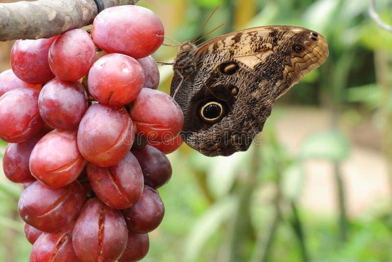 Raisins sirotants de papillon photographie stock libre de droits