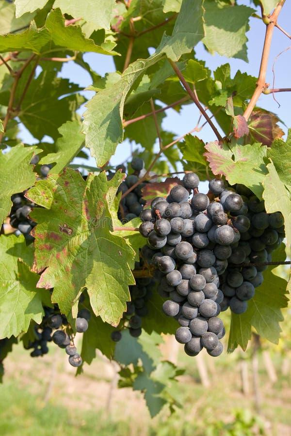 Download Raisins sur la vigne image stock. Image du grand, lame - 8651279
