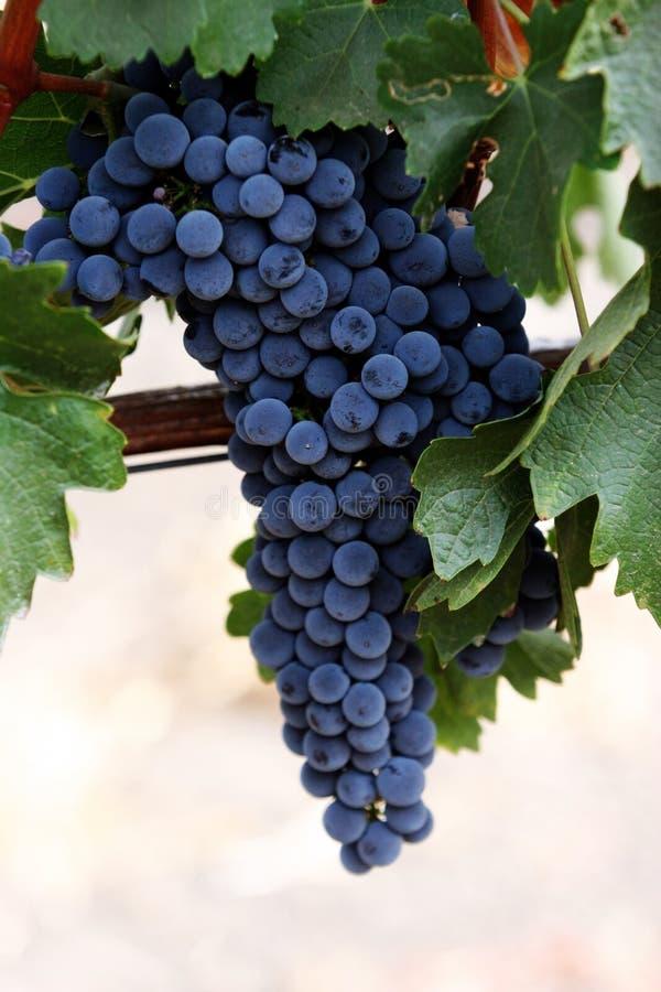 Raisins sur une vigne photos libres de droits