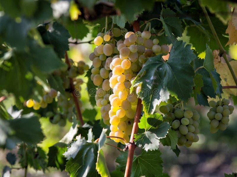 Raisins verts mûrs sur la vigne dans le vignoble image libre de droits