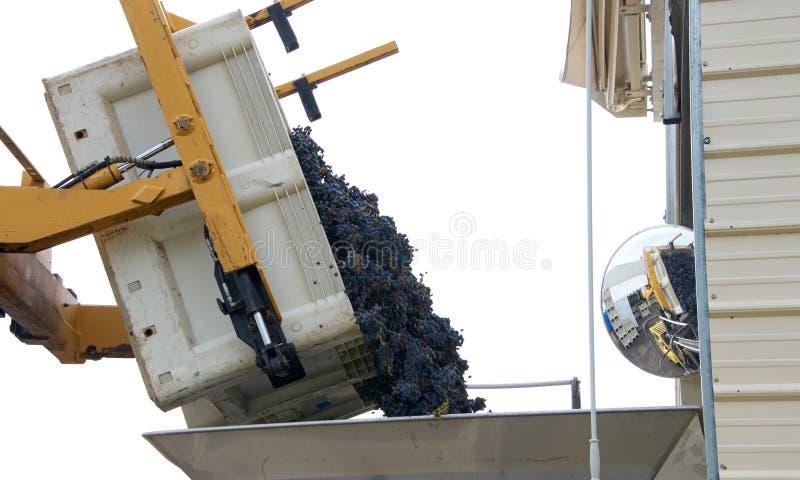 Raisins vidant dans une poubelle pour le tri photo libre de droits