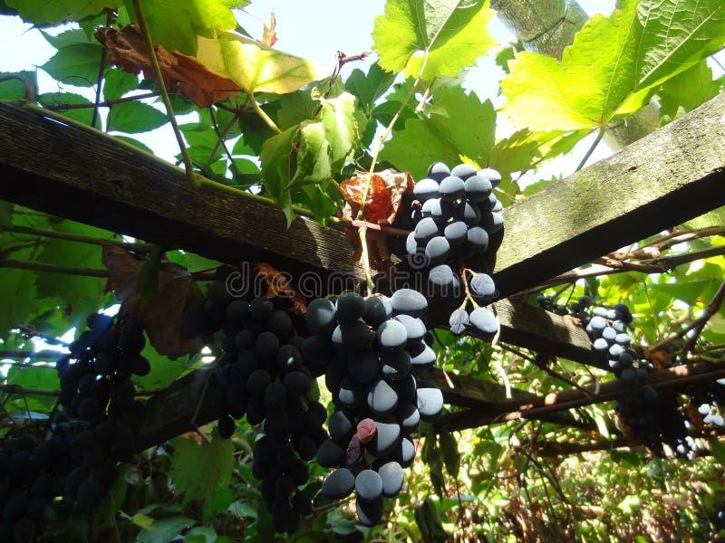 Raisins, vrai, purs, en nature humaine photos libres de droits