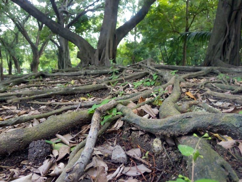 A raiz da árvore no jardim Opinião da largura fotografia de stock