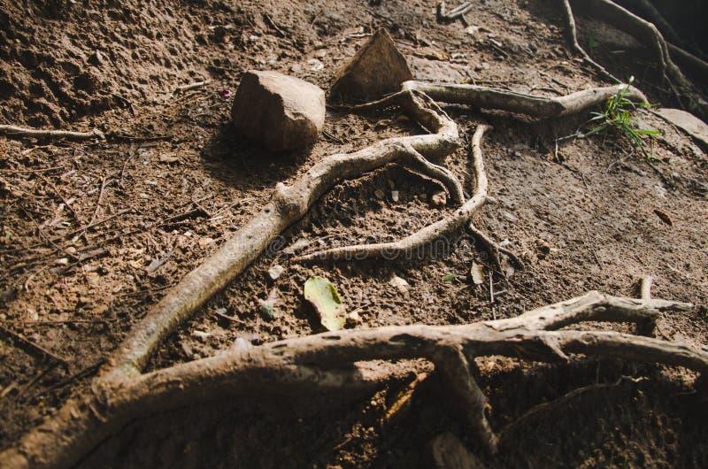 Raiz da árvore, solo fotografia de stock