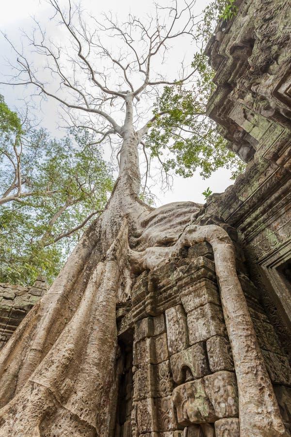 Raiz de um século da árvore, templo de Ta Prohm, Angkor Thom, Siem Reap, Camboja imagens de stock royalty free