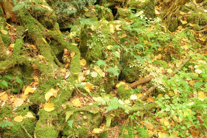 Raiz, musgo e samambaia da árvore imagem de stock