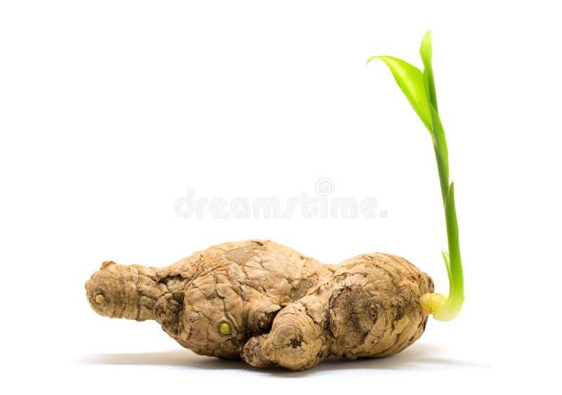 Raiz velha do gengibre com o broto verde novo Broto da mola da planta Semeando a raiz do gengibre imagens de stock royalty free
