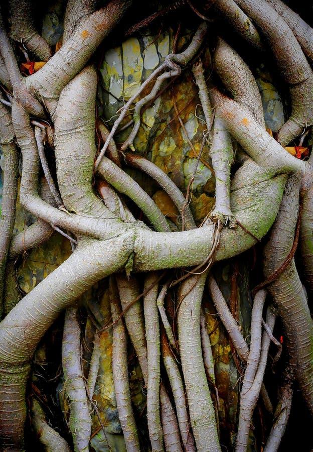 Raizes chinesas da árvore da agreira foto de stock