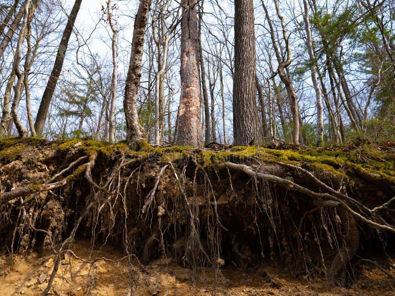 Raizes cobertas com o musgo na floresta imagens de stock