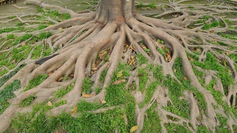 Raizes da árvore imagem de stock