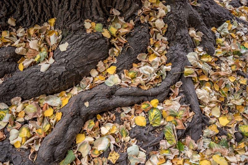 Raizes da árvore cobertas com as folhas de outono caídas foto de stock