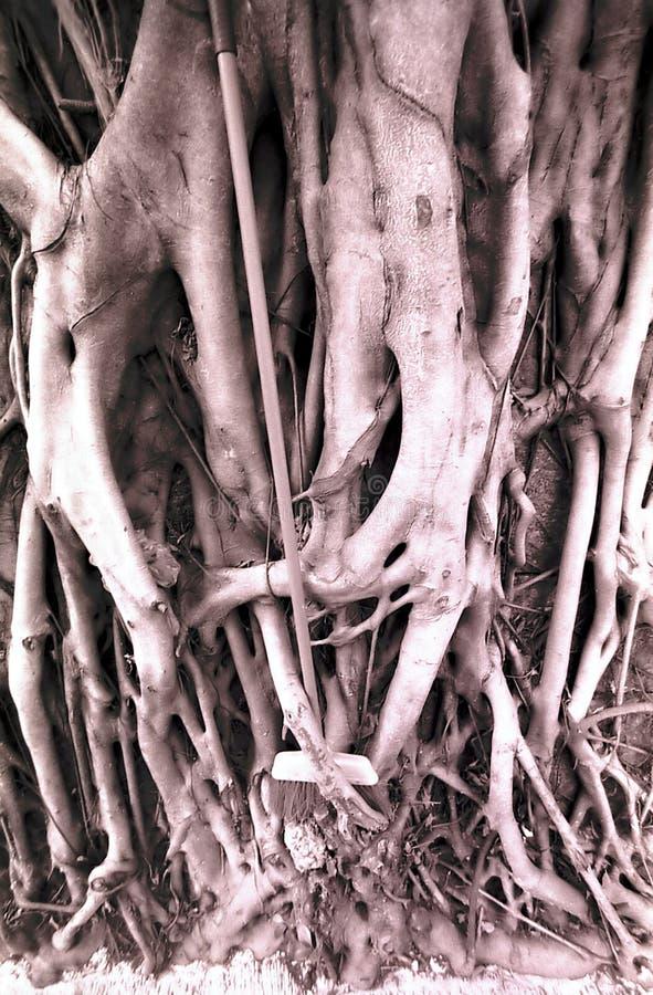 Raizes da árvore de Banyan fotografia de stock