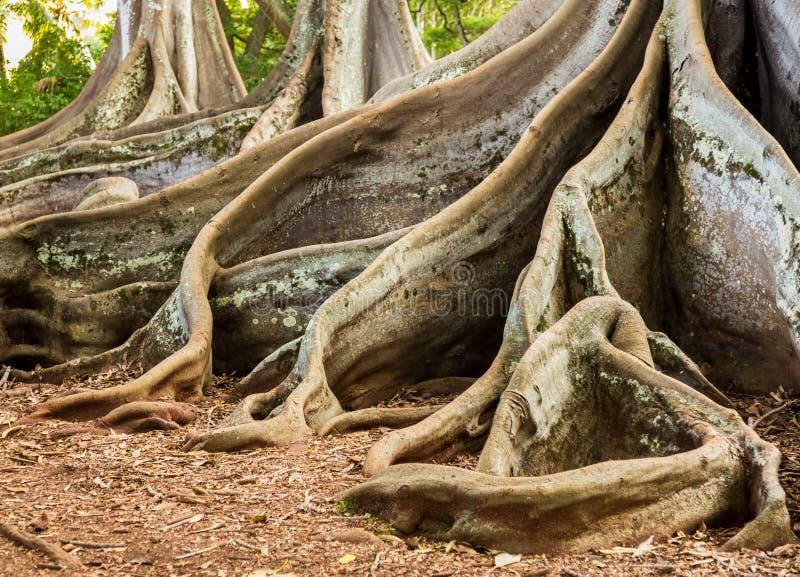 Raizes da árvore de figo da baía de Moreton fotos de stock