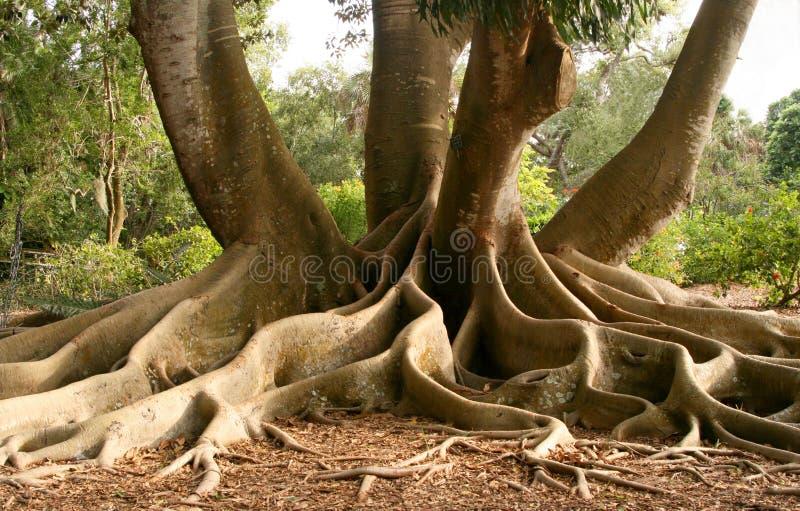 Raizes da árvore de figo do louro fotos de stock royalty free