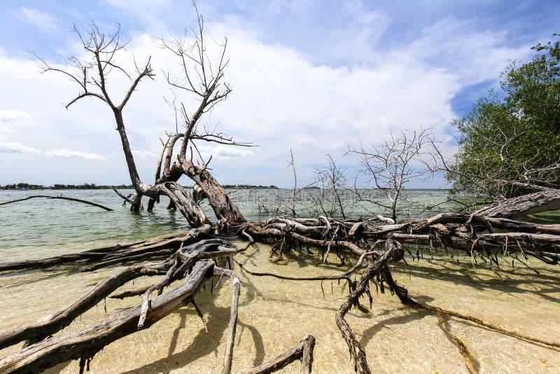 Raizes da árvore dos manguezais em uma praia tropical imagens de stock
