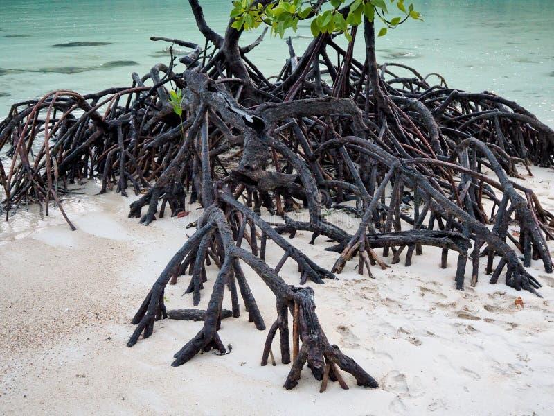 Raizes da árvore dos manguezais na praia foto de stock royalty free