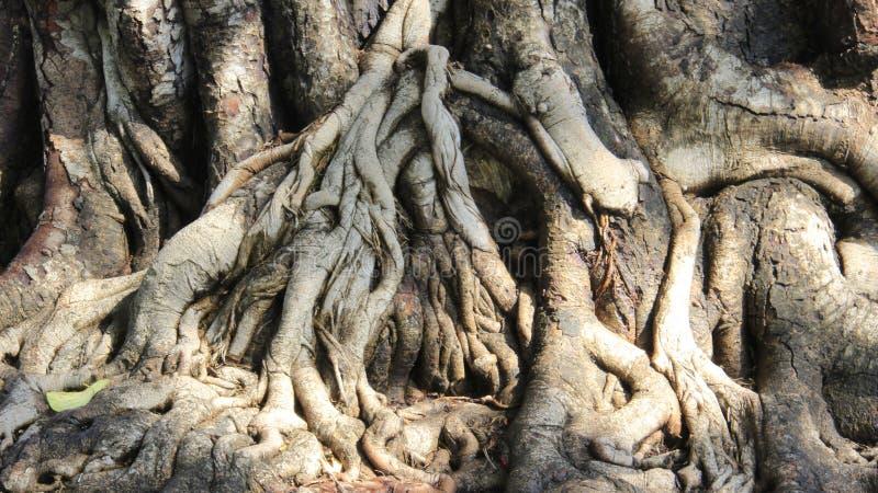 Raizes da árvore e casca de árvore Detalhes e cor da natureza imagem de stock