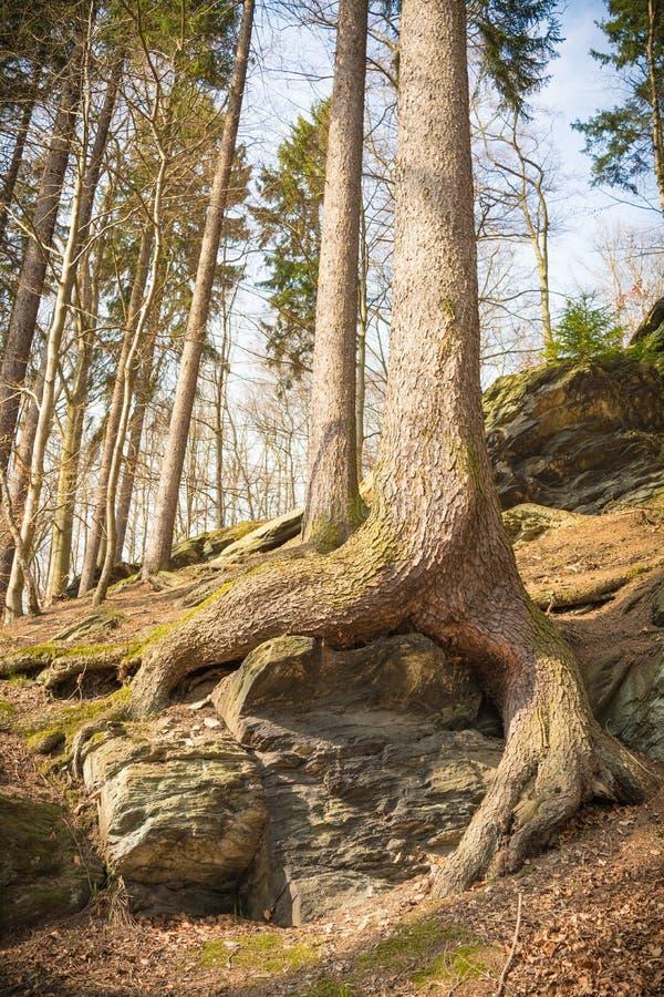 Raizes da árvore na floresta foto de stock royalty free