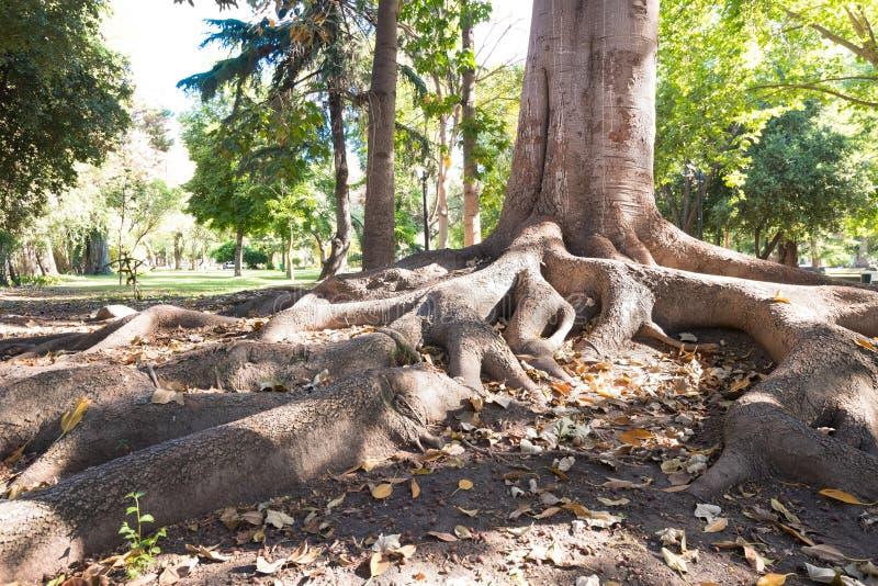 Raizes da árvore no jardim de Tibet no parque público de O'Higgins, Santiago fotos de stock