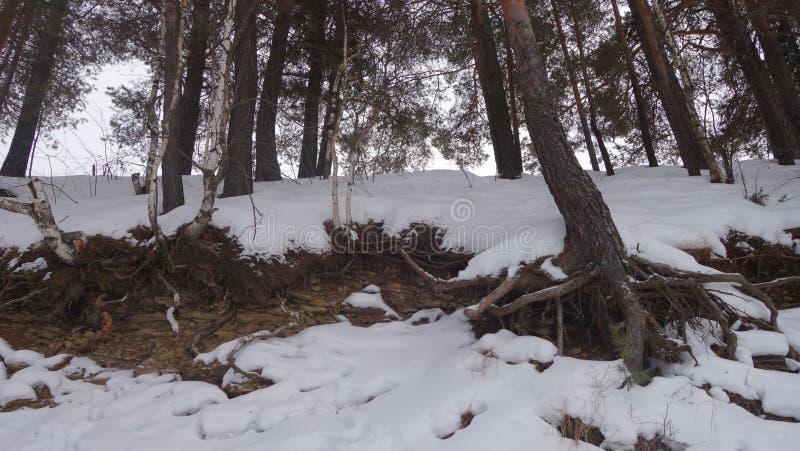 Raizes da árvore que colam fora da terra, inverno fotos de stock royalty free