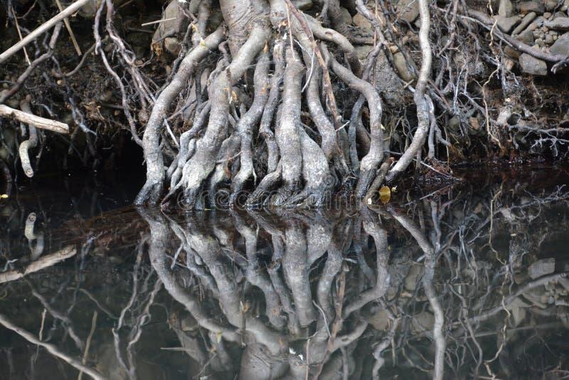 Raizes da árvore refletidas na água imóvel fotografia de stock royalty free