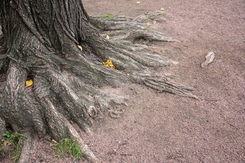 Raizes da casca de árvore na terra do parque foto de stock royalty free