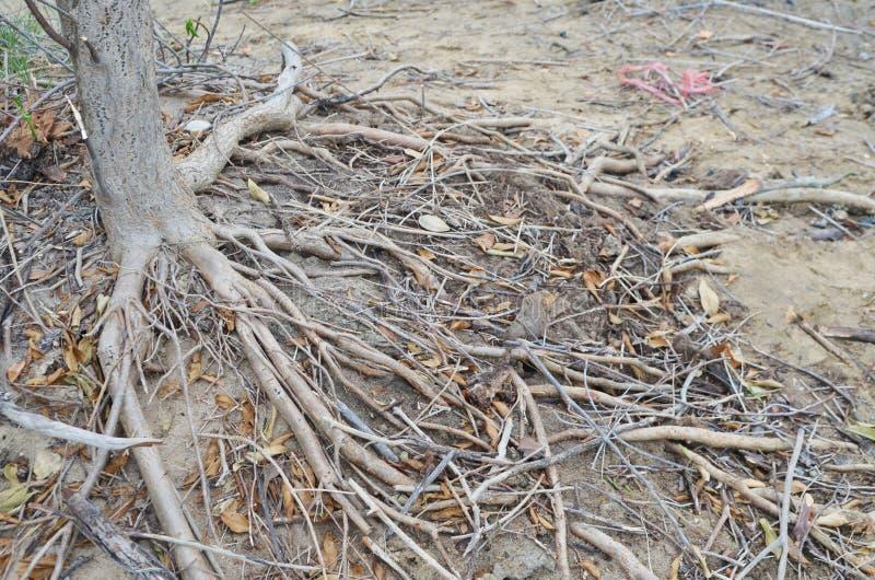 Raizes da floresta dos manguezais imagem de stock royalty free