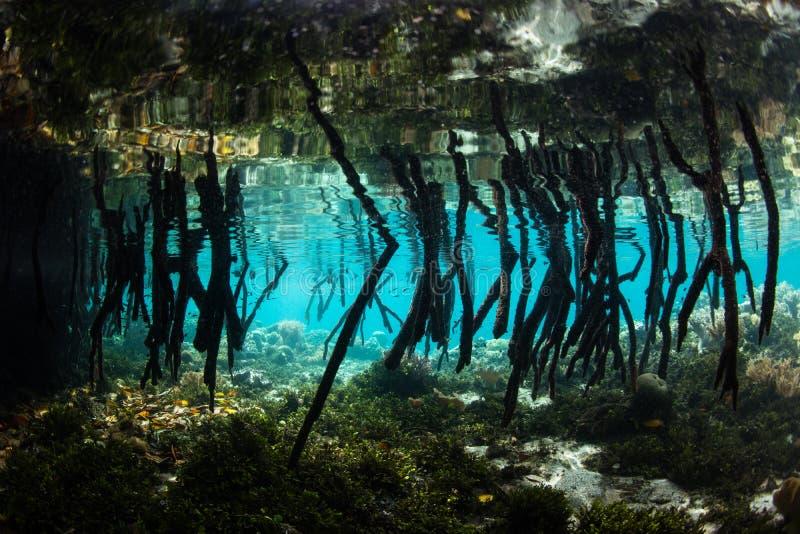 Raizes de suporte dos manguezais em Raja Ampat imagens de stock