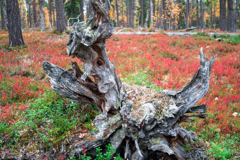 Raizes de uma árvore inoperante em Autumn Taiga Forest foto de stock royalty free