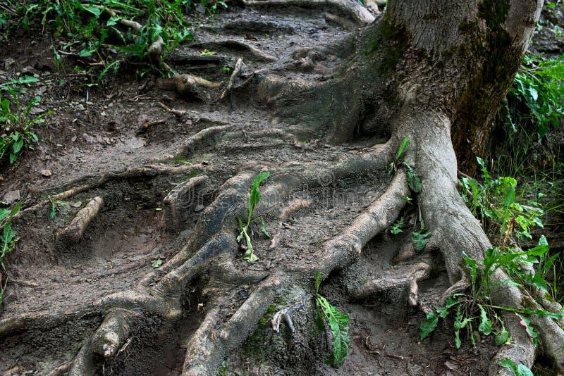 Raizes de uma árvore na lama, na sujeira e na grama imagem de stock royalty free