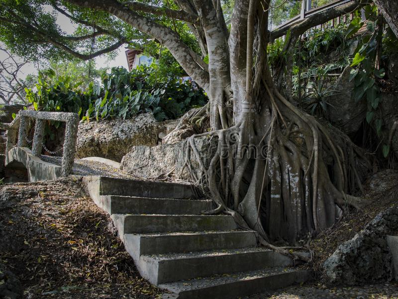 Raizes de uma árvore tropical fotografia de stock