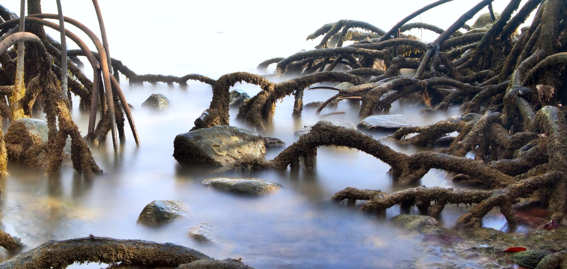 Raizes do pântano da floresta da árvore dos manguezais fotografia de stock