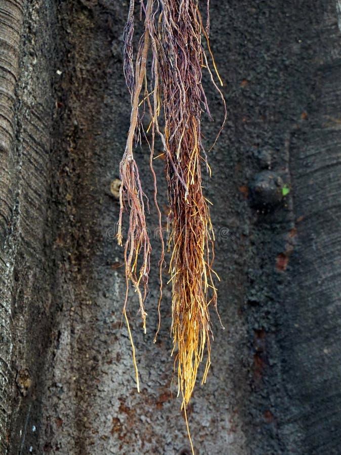 Raizes do Strangler da árvore de figo da baía de Moreton imagem de stock