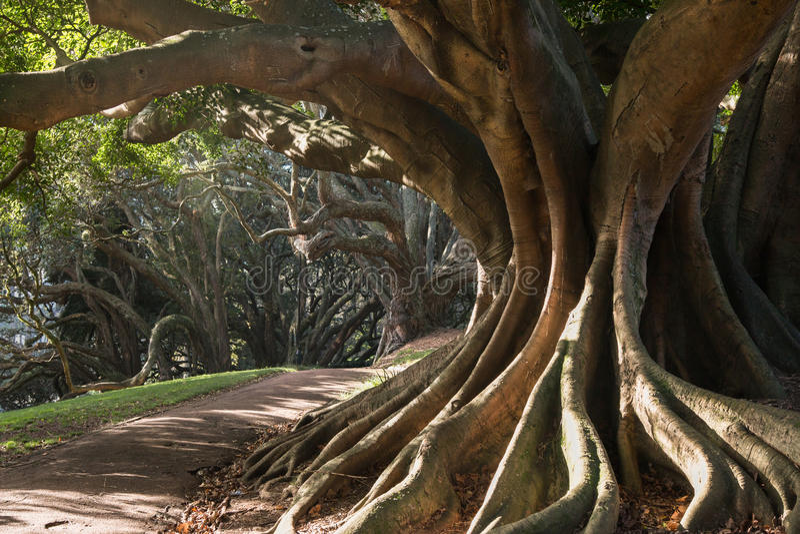 Raizes do suporte da árvore de figo da baía de Moreton fotografia de stock royalty free